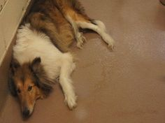 Check out tristatecollierescue.org for this fella and other adoptable collies. They shed, they bark and they are SO worth it.