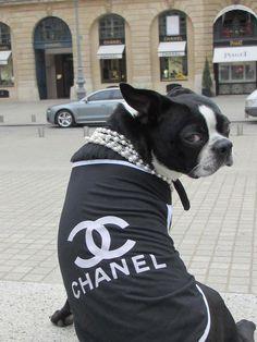 Bella The Boston Terrier Vacations In Paris