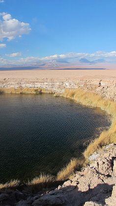 Ojos del Salar, un afloramiento de agua debajo de la costra de sales, donde crece paja brava. Salar de Atacama, San Pedro de Atacama, Región de Antofagasta, Chile Flora
