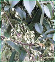 blue china evergreen vine