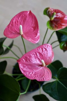 Anthurium: The Ultimate Guide to Flowering Anthurium Houseplants - Home for the Harvest - plant parent #houseplant #anthurium #pinkflowers