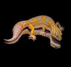 Leopardgecko 'Rue' Super Giant Tangerine Albino