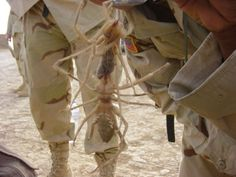 SCARY MILITARY DUTY EVENTS - SOLDIER FINDS HUGE CAMEL SPIDER