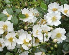 Rosa 'Sternenflor' - Bodendecker-Rose Bienenweide Dauerblueher Hagebutten