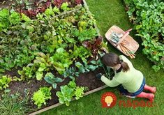 Bonnie Plants is a leading provider of plants for your vegetable garden or herb garden. Expert gardening tips help you with your plants. Organic Vegetables, Growing Vegetables, Root Vegetables, Growing Plants, Veggies, Gardening For Beginners, Gardening Tips, Gardening Shoes, Small Vegetable Gardens