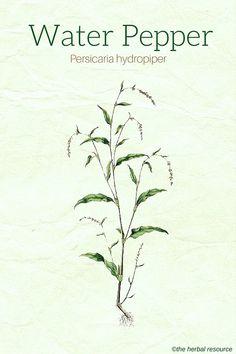 Water Pepper (Persicaria hydropiper)