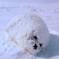 Fat baby seal coated in snow.