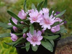 Lewisia nevadensis rosea