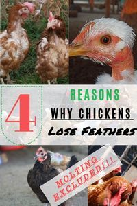 Want to know why chickens lose feathers? Read more about Top 4 Reasons For Feather Loss In Chickens (molting excluded).   #chickens #backyardchickens #whychickenslosefeathers #Bullying #Protein Deficiency #MitesandFleas #Vent Pecking