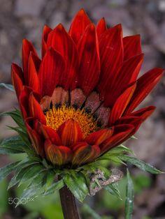 Flower | by Rodolfo Seide on 500px