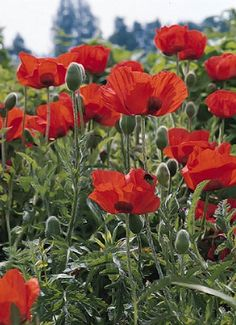 Poppy Flower Meaning Simple Flowers, Wild Flowers, Beautiful Flowers, Poppy Flower Meaning, Landscaping Plants, Garden Plants, Poppy Flower Seeds, Poppy Flowers, Planting Poppies