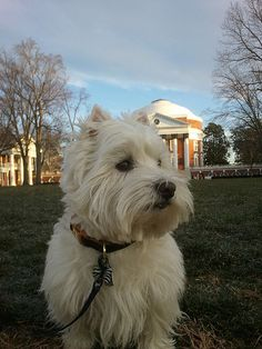 Westie! He looks like he is on UVA's campus in front of the Rotunda. Already loving Jefferson.