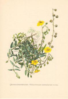 Rockrose Antique Botanical Print 1955 Vintage by Craftissimo, €12.95
