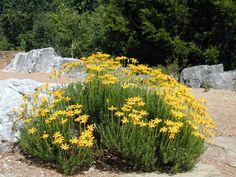 Chrysactinia mexicana (diamantia) technically a shrub, but used like a flower; very drought-tolerant.