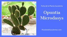 Opuntia Microdasys - Fichas de Plantas Suculentas Euphorbia Milii, Echeveria, Air Plants, Cactus Plants, Cacti, Opuntia Microdasys, Cactus Y Suculentas, Succulents, Gardening