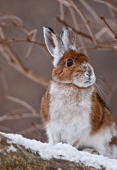 frosty snow on the nose - doesn't seem to bother this bunny!
