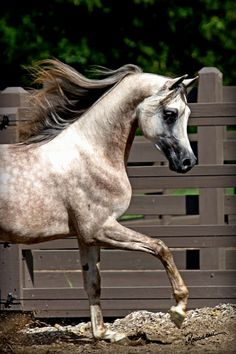 Magnyf Alcon (Magnum Psyche x Foreign Affair BHF)    The Arabian Horse - Drinkers of the Wind