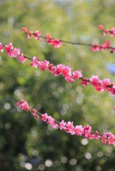 Pretty pink peach blossoms