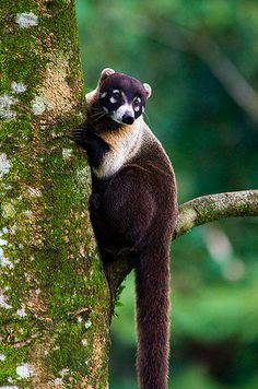 "The South American coati, or ring-tailed coati (Nasua nasua), is a species of coati from tropical and subtropical South America. In Brazilian Portuguese it is known as quati. Weight in this species is 2–7.2 kg (4.4–16 lb) and total length is 85–113 cm (33–44 in), half of that being its tail. Its color is highly variable and the rings on the tail may be quite weak, but it lacks the largely white muzzle (""nose"") of its northern cousin, the white-nosed coati"