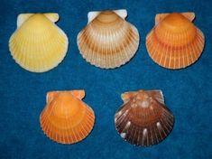 Gulf Coast Shell Club - Shell Show - Panama City Beach Senior Center - June 21-June 23