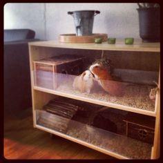 guinea pig cages - Pesquisa Google