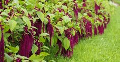 Oh gosh. What a weird plant. Like heat, long season, start indoors 6 weeks before last frost. Sprout in 2 weeks. Weird Plants, Amaranthus, Health And Wellbeing, Natural Remedies, Gardening, Nature, Flowers, Frost, Purple