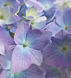 Lavender Wall Art - Photograph - Macro Purple Hydrangea Flowers by Jennie Marie Schell Light Purple Flowers, Soft Purple, Summer Flowers, Hydrangea Colors, Hydrangea Flower, Lavender Aesthetic, Purple Aesthetic, Soft Summer Color Palette, Summer Colours