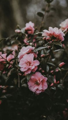 Flowers Pink Winter Flowers ~ flowers pinkflowers winterflowers is part of Flowers photography wallpaper - Tumblr Wallpaper, Tumblr Backgrounds, Wallpaper Backgrounds, Nature Wallpaper, Trendy Wallpaper, Aesthetic Iphone Wallpaper, Aesthetic Wallpapers, Exotic Flowers, Beautiful Flowers