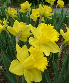 Planted 2012 Narcissus King Alfred - Trumpet Daffodils - Narcissi - Flower Bulbs Index