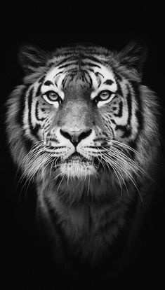 Wild Animal Wallpaper, Tiger Wallpaper, Wild Animals Photos, Animals And Pets, Cute Animals, Wild Animals Photography, Animals Black And White, Animal Action, Tiger Art