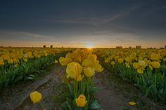 Skagit Valley Tulips by TorrinVisualMedia on Etsy