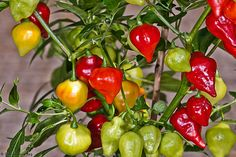 BILLY GOAT PEPPER - Very Hot (Capsicum chinense) - Organically Grown.Turn from green, to orange, to red when mature.