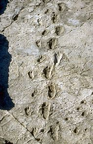 Laetoli is the name of an archaeological site in northern Tanzania, where by some very odd twist of fate, the footprints of three Australopithecines have have been preserved in the ash fall of a volcanic eruption some 3.5-3.8 million years.