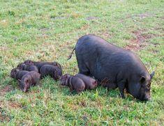 Mini, Animals, Thick Skin, Pigs, Animaux, Animal, Animales, Animais