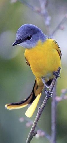 Pretty Birds, Love Birds, Beautiful Birds, Animals Beautiful, Exotic Birds, Colorful Birds, Yellow Birds, Blue Yellow, Purple Bird