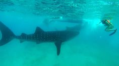Swimming with Whale Sharks in Oslob, Cebu, Philippines
