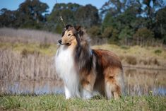 Collie (Rough) | Penny Brooks | Flickr