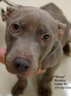 """03/15/15-***EXTREMELY URGENT! THROW AWAY MAMA •Breed: Pitbull Terrier, Dachshund Mix Female Adult (2 years per shelter notes) •ID: A028654 •Shelter Name: """"Norma"""" •Vaccinated, Heartworm POSITIVE ~Very neglected ~ Well mannered ~ Sweet ~Loving ~ Unsure~ PLEASE CONTACT COWETA COUNTY ANIMAL CONTROL TO ADOPT THIS PET: 770-254-3735. The address is 91 Selt Road, Newnan, GA. """"Norma""""...is a heartbreaker. It is obvious that this precious lady has had a hard life so far."""