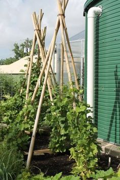 Self Sufficient Living - Fresh vegetables can be raised in some of the smallest areas by using support poles and trellises.
