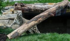 """Cleveland Zoo on Twitter: """"Happy #Caturday from #AsianHighlands! 🐆… """" Cleveland Zoo, Ohio, Asian, Twitter, Happy, Animals, Columbus Ohio, Animales, Animaux"""
