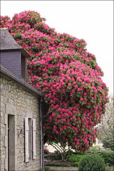 "Rhododendron ""Broughtonii"" , hundred-year-old"