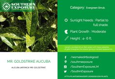 Aucuba Japonica MR Goldstrike. Upright Dark #green foliage having a marbled appearance. Visit plants.wemakedirtlookgood.com for more such plants.