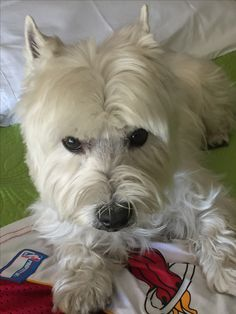 West Highland *White* (sometimes, :-)    Terrier