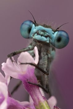 "Get a load of those baby blues! Did you know that the damselfly (seen here) is a relative of the dragonfly, and they both belong to an order that means ""toothed ones""? Beautiful Creatures, Animals Beautiful, Cute Animals, Regard Animal, Mantis Religiosa, Cool Bugs, Fotografia Macro, A Bug's Life, Beautiful Bugs"