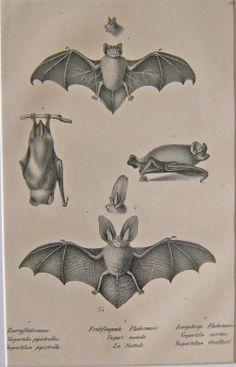 Zwergfledermaus, Fruhfliegende Fledermaus, Langohrige Fledermaus, bat species illustration