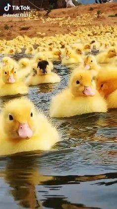 A sea of adorable cuteness Find good vibe gear, inspiri Cute Little Animals, Cute Funny Animals, Cute Cats, Cute Animal Videos, Cute Animal Pictures, Beautiful Birds, Animals Beautiful, Cute Ducklings, Baby Ducks