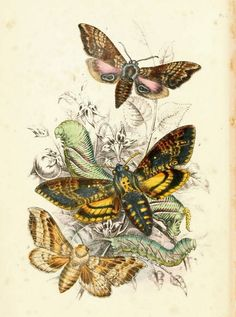 """Antique Natural History Print """"Death's Head Moth and Friends"""" Woodland Forest Illustration - Butterfly Art Print"""