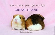 Checking your guinea pig's grease gland is a necessary part of cavy care. Find out what you need to know about grease glands and how to keep them clean.