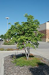 Click to view full-size photo of Korean Maple Clump (Acer pseudosieboldianum) at Bachman's Landscaping