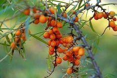 Havtornmarmelade - nem marmelade med havtorn - Madens Verden Fruit, Food, Marmalade, Syrup, Meals